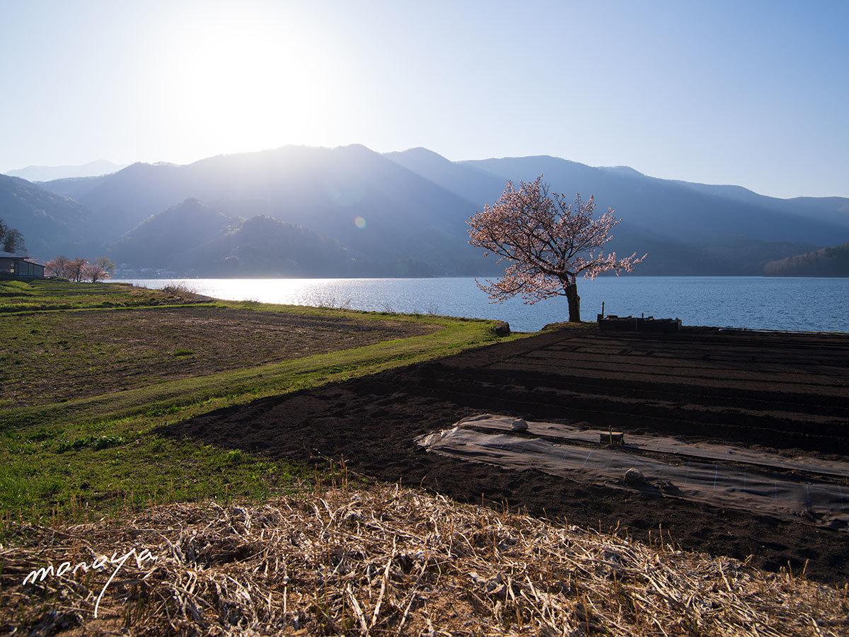 青木湖の桜_c0085877_06091794.jpg