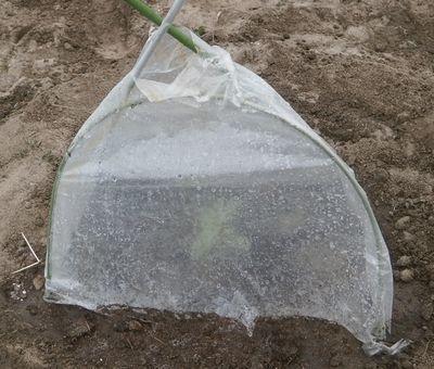 種蒔き6種とスイカの風除けビニールキャップ_f0018078_16590616.jpg