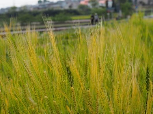 レンゲ畑と麦畑_d0281783_22512101.jpg