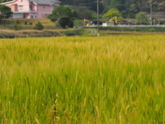 レンゲ畑と麦畑_d0281783_22520513.jpg