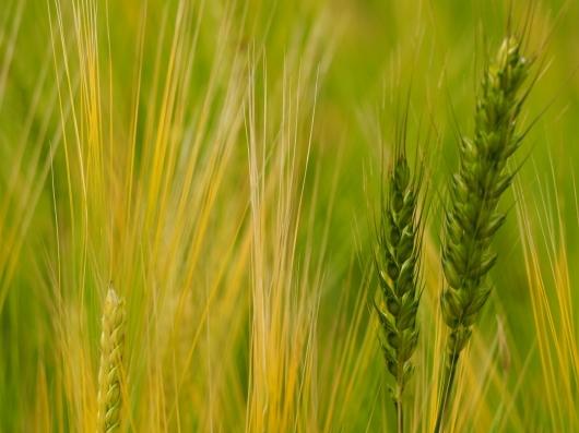 レンゲ畑と麦畑_d0281783_22523487.jpg