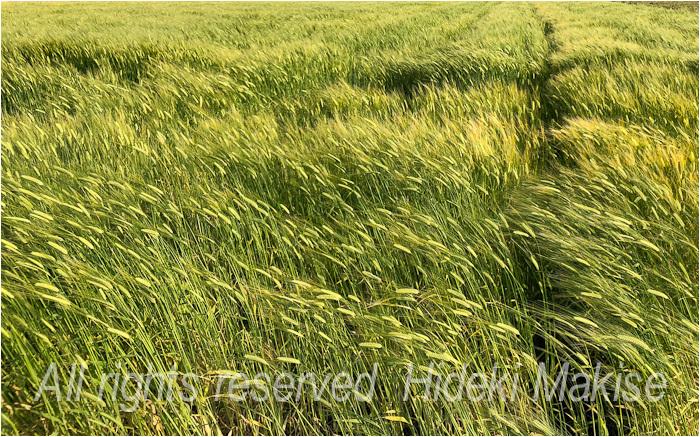 今年も麦が_c0122685_17123546.jpg