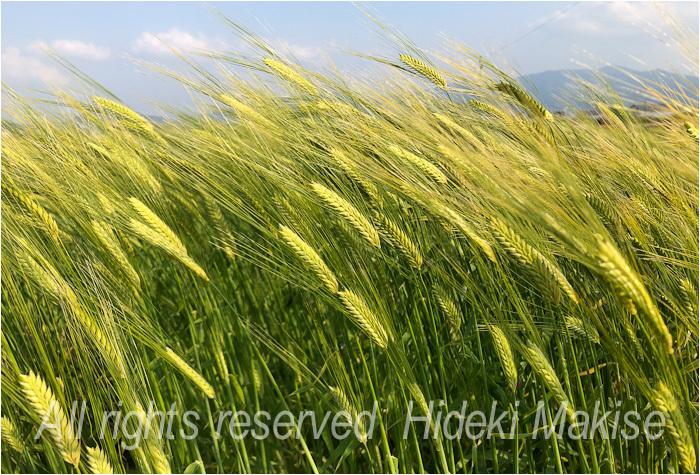 今年も麦が_c0122685_17123611.jpg