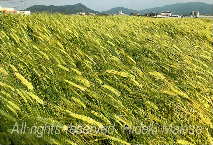 今年も麦が_c0122685_17123630.jpg