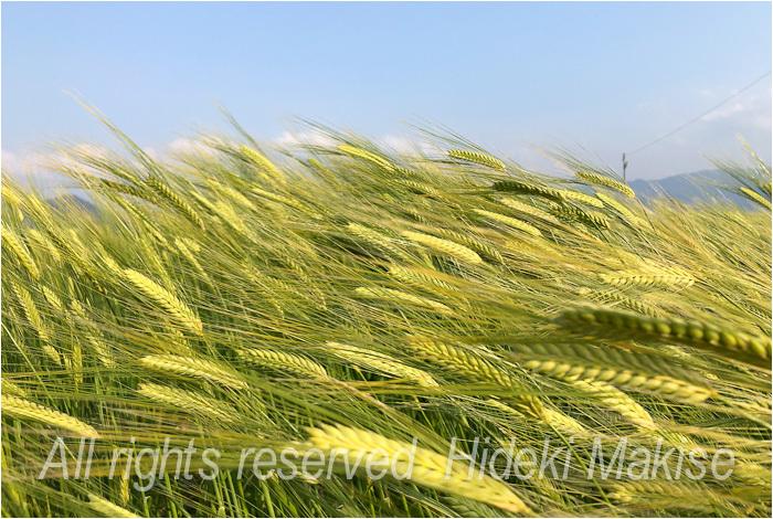 今年も麦が_c0122685_17123635.jpg