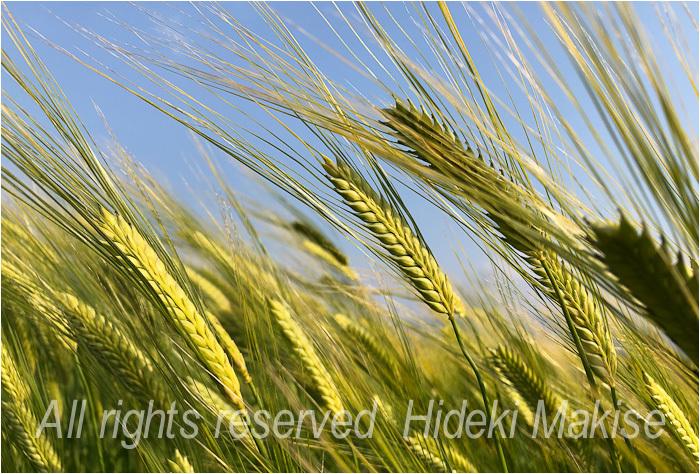 今年も麦が_c0122685_17123686.jpg