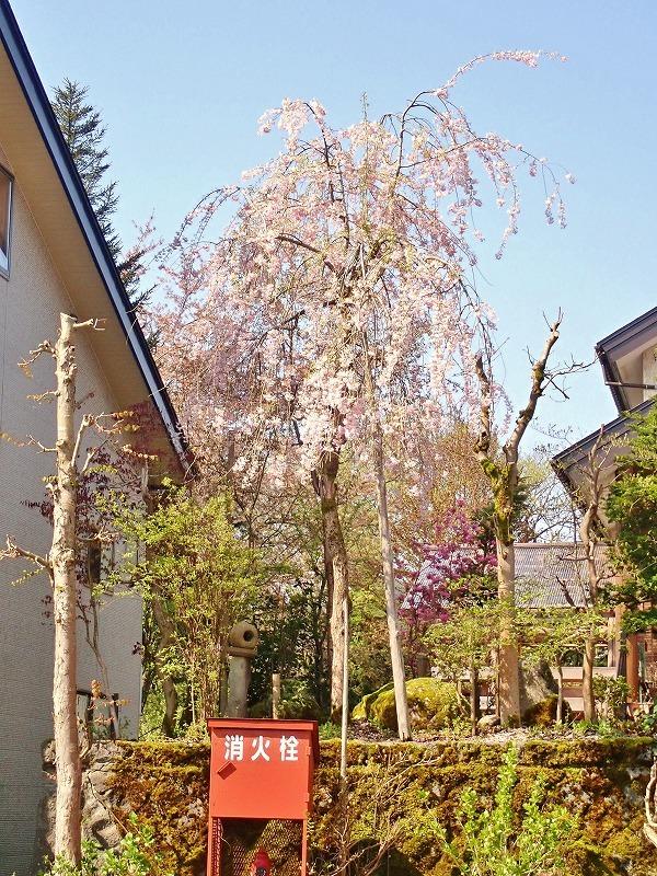 長かった桜の開花期間_c0336902_21414036.jpg