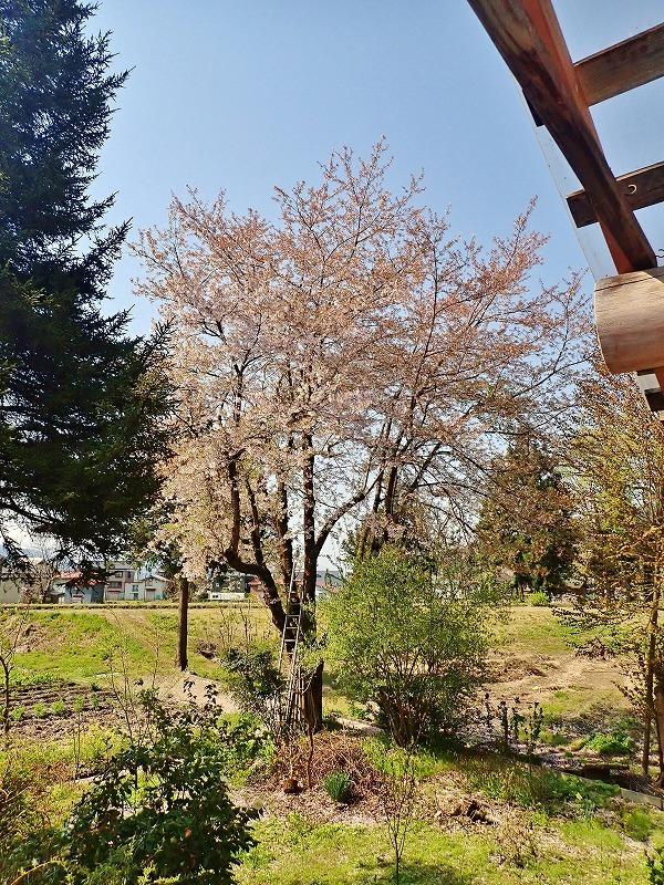 長かった桜の開花期間_c0336902_21414448.jpg