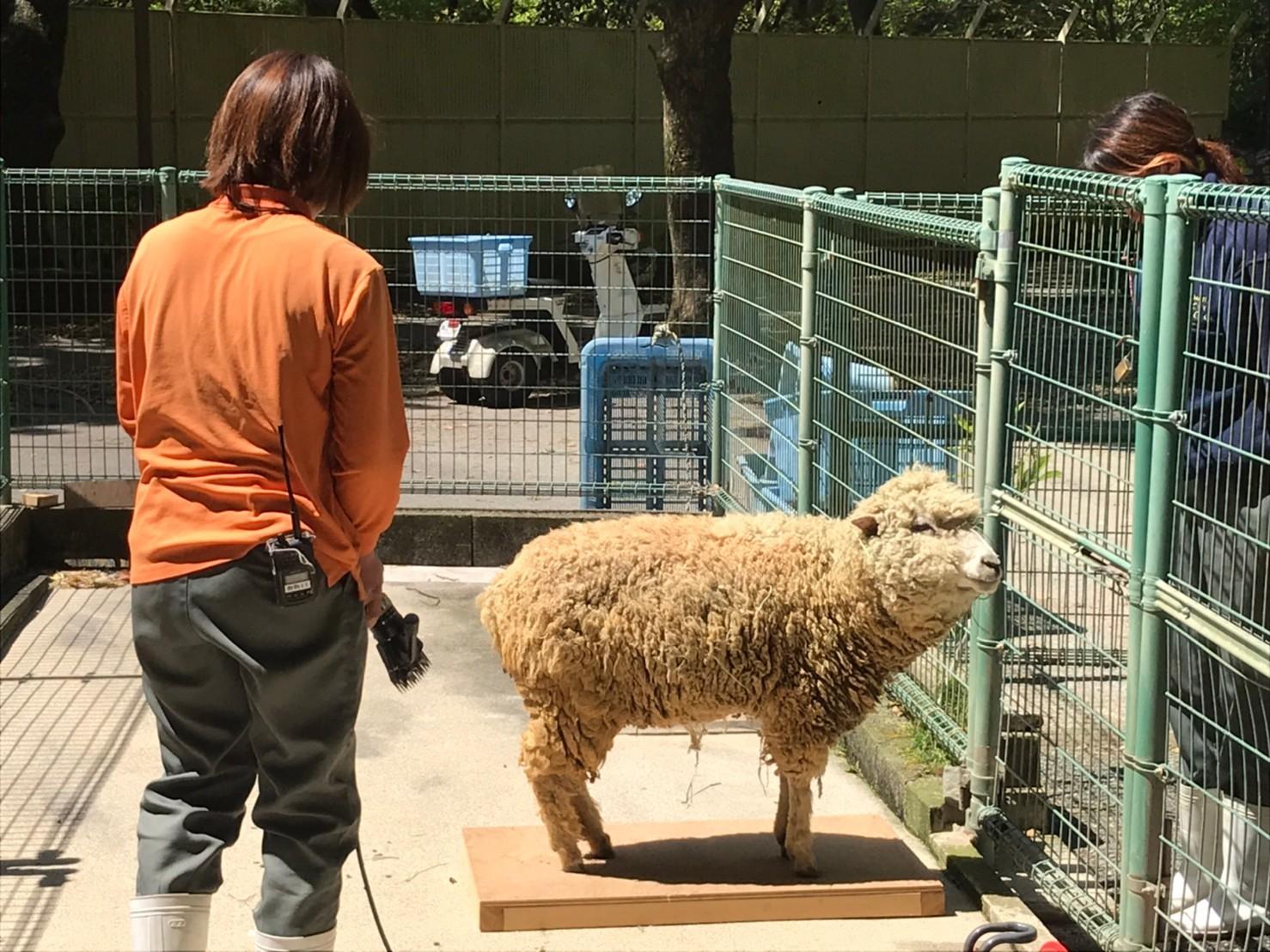 ヒツジの毛刈りトレーニング_c0290504_08521212.jpg