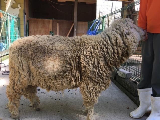 ヒツジの毛刈りトレーニング_c0290504_08534925.jpg