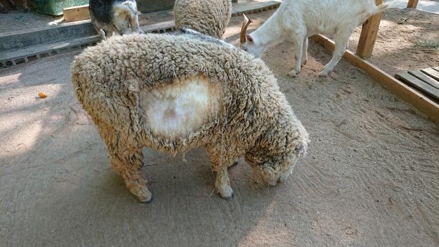 ヒツジの毛刈りトレーニング_c0290504_08541696.jpg