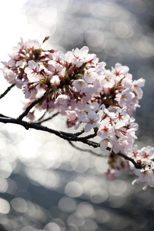 福島江の桜_e0169421_21453037.jpg