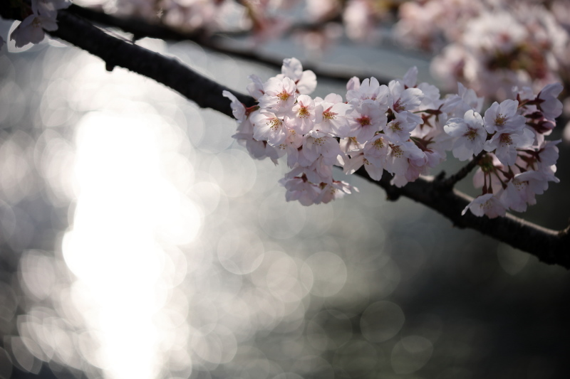 福島江の桜_e0169421_21453068.jpg