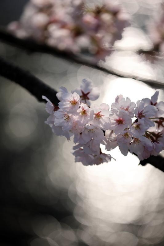 福島江の桜_e0169421_21453120.jpg