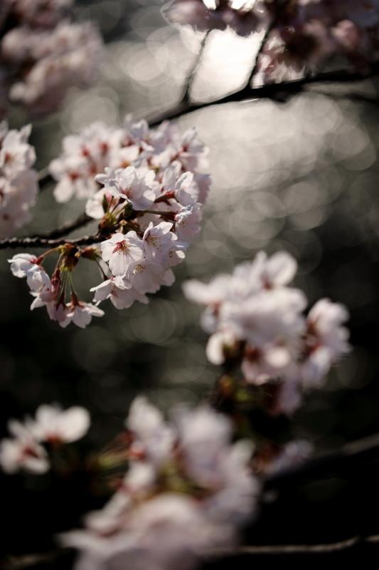 福島江の桜_e0169421_21453213.jpg