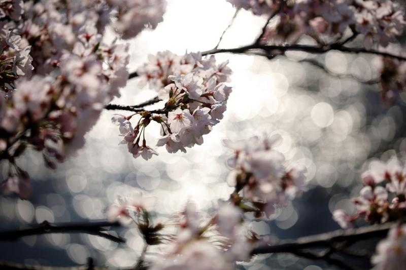 福島江の桜_e0169421_21453266.jpg