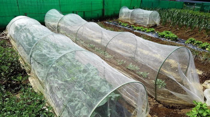 ■Myファーム発【絹サヤ・スナップエンドウが収穫期に入りました♪】その他植え付け色々です。_b0033423_20391527.jpg