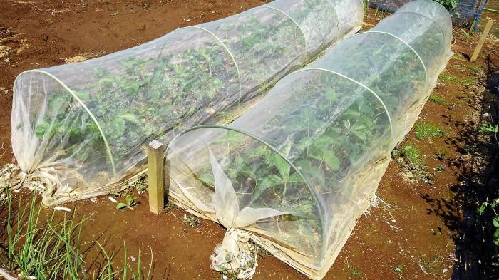 ■Myファーム発【絹サヤ・スナップエンドウが収穫期に入りました♪】その他植え付け色々です。_b0033423_20463458.jpg