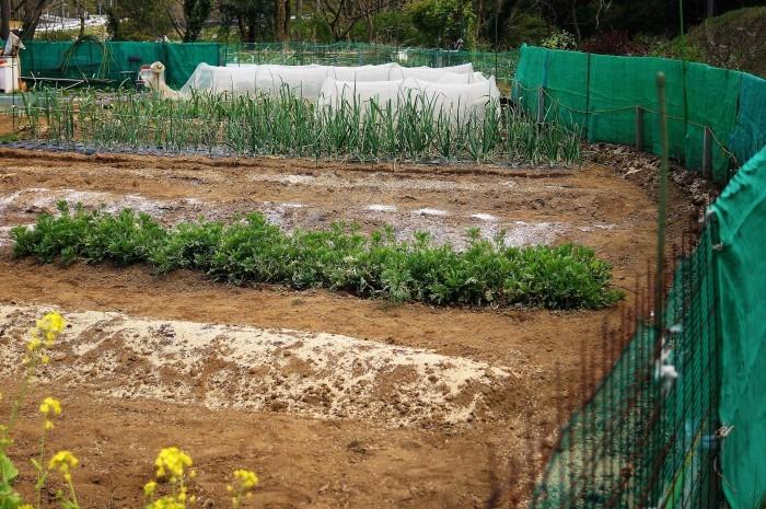 ■Myファーム発【絹サヤ・スナップエンドウが収穫期に入りました♪】その他植え付け色々です。_b0033423_20494681.jpg
