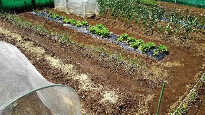 ■Myファーム発【絹サヤ・スナップエンドウが収穫期に入りました♪】その他植え付け色々です。_b0033423_20523162.jpg