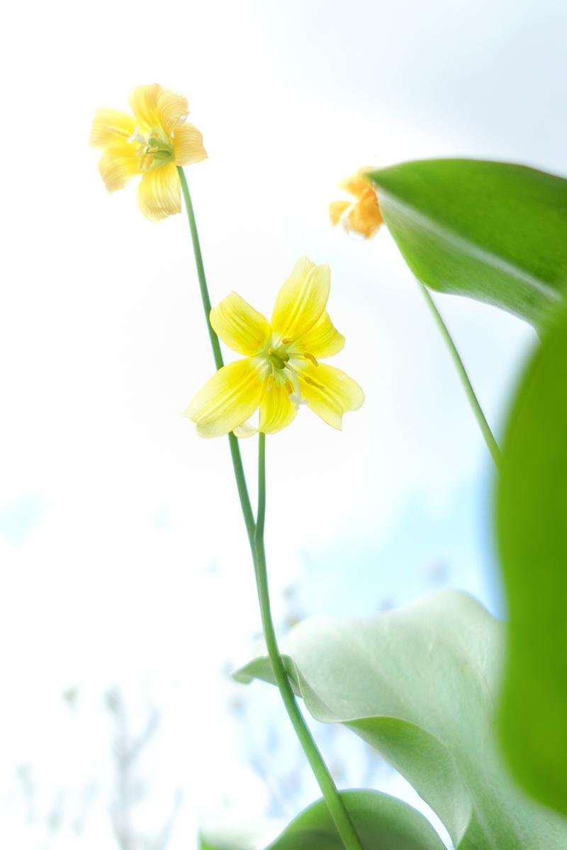 黄色のカタクリ_c0220824_18111524.jpg
