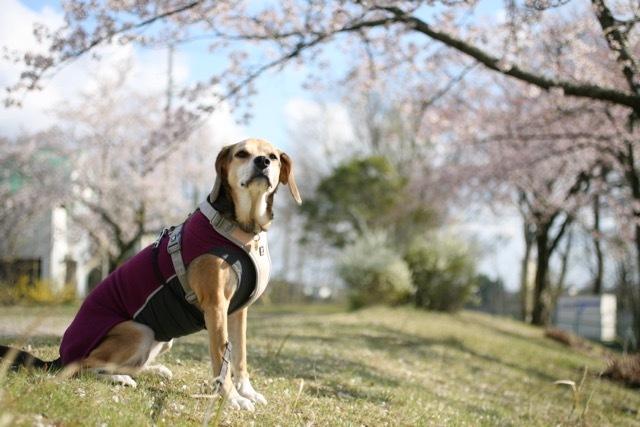 まだまだ桜のお散歩道_b0031538_23055024.jpg