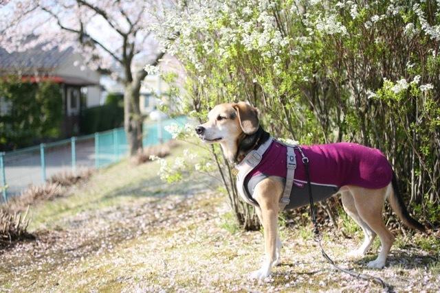まだまだ桜のお散歩道_b0031538_23123714.jpg