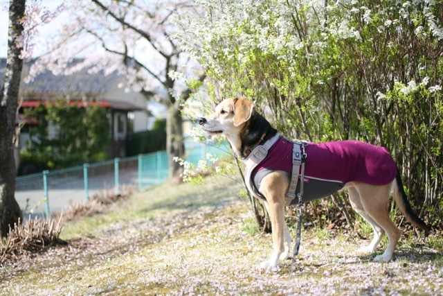 まだまだ桜のお散歩道_b0031538_23145439.jpg