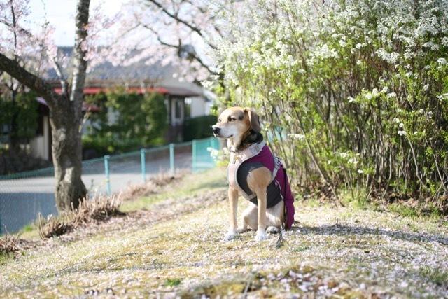 まだまだ桜のお散歩道_b0031538_23171645.jpg