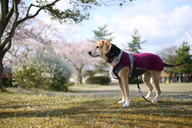 まだまだ桜のお散歩道_b0031538_23190245.jpg