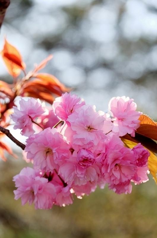 ポンポン桜_b0314043_07361575.jpg