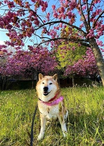 ポンポン桜_b0314043_07484990.jpg