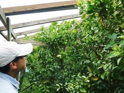 デコポン(肥後ポン)大好評販売中!次の収穫へ向けた花芽剪定作業2020(ひのゆたか編)_a0254656_18560625.jpg
