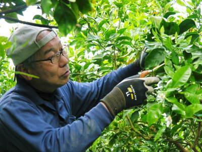 デコポン(肥後ポン)大好評販売中!次の収穫へ向けた花芽剪定作業2020(ひのゆたか編)_a0254656_19063218.jpg
