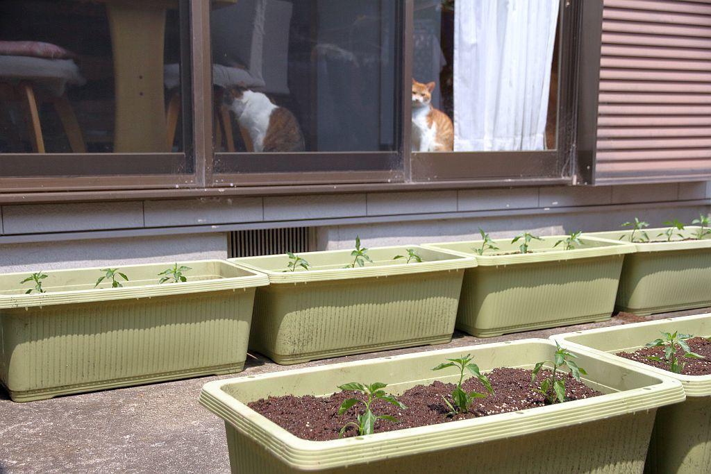 唐辛子の苗の植え付け_e0220163_16080897.jpg