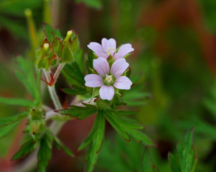 野の花にキジさんも_c0305565_17221401.jpg