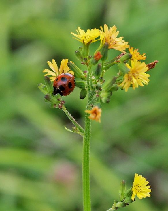 野の花にキジさんも_c0305565_17232168.jpg