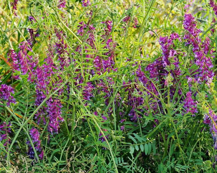 野の花にキジさんも_c0305565_17252913.jpg