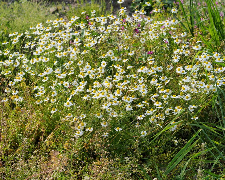 野の花にキジさんも_c0305565_17255568.jpg