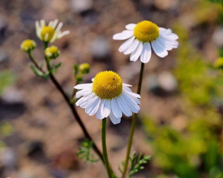 野の花にキジさんも_c0305565_17261509.jpg