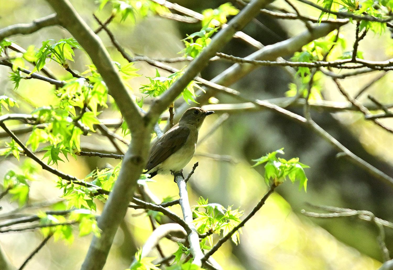 新緑の中にオオルリ ♀_e0362696_15495017.jpg