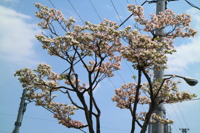 ハナミズキ通り_e0397815_23032993.jpg