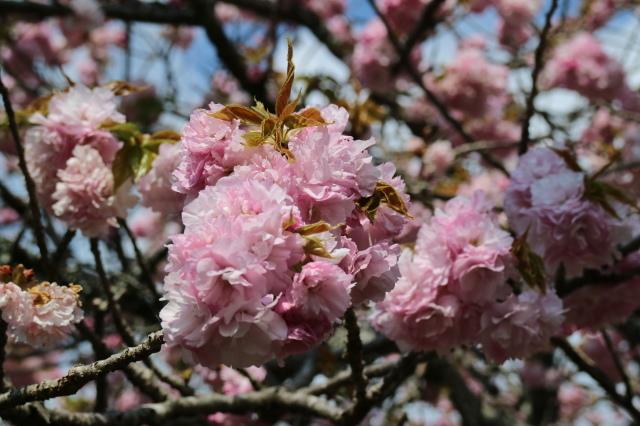 八重桜が咲いています_e0397815_23151807.jpg