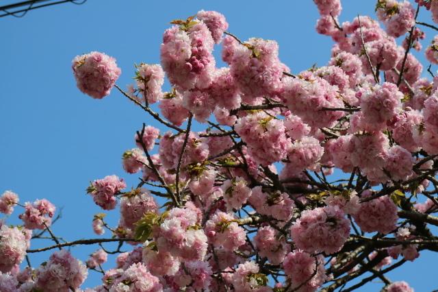 八重桜が咲いています_e0397815_23152477.jpg