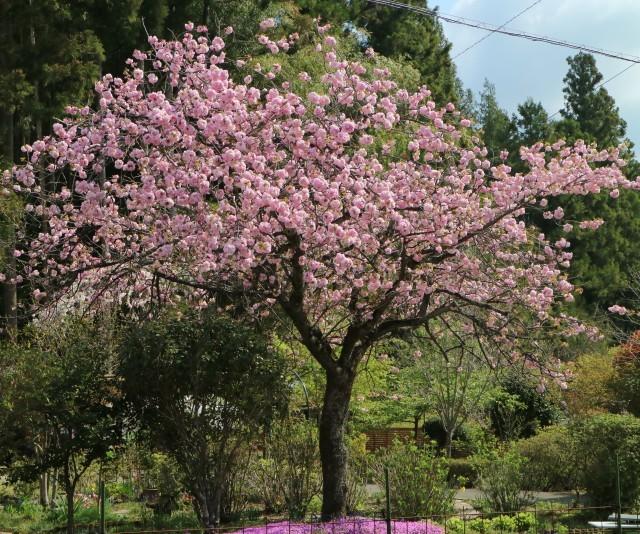 八重桜が咲いています_e0397815_23180150.jpg