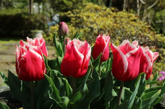 八重桜が咲いています_e0397815_23191115.jpg