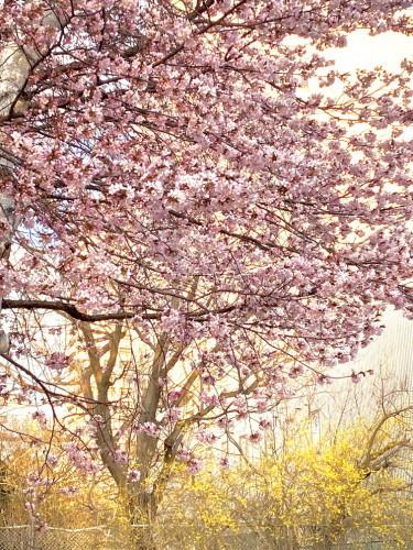 """2020年4月『北海道にコロナと春が来た』 April 2020 \""""Spring and COVID-19 have come in Hokkaido\""""_c0219616_21183129.jpg"""