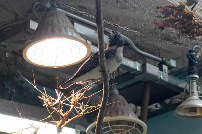 カイツブリの狩り~水生物館の淡水魚たち(井の頭自然文化園 May 2019)_b0355317_22480565.jpg