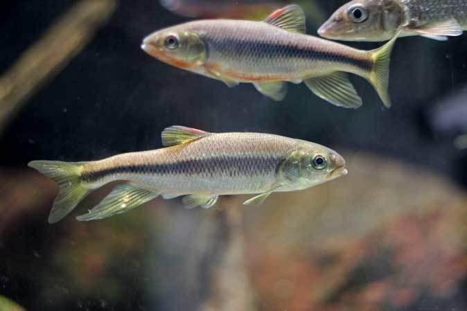 カイツブリの狩り~水生物館の淡水魚たち(井の頭自然文化園 May 2019)_b0355317_22485420.jpg