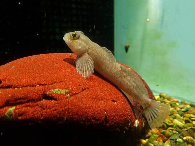 カイツブリの狩り~水生物館の淡水魚たち(井の頭自然文化園 May 2019)_b0355317_22503903.jpg